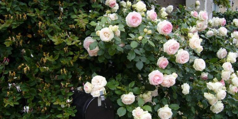 Roses_Pierre_de_Ronsard
